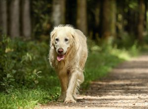 golden retriever rasvereniging